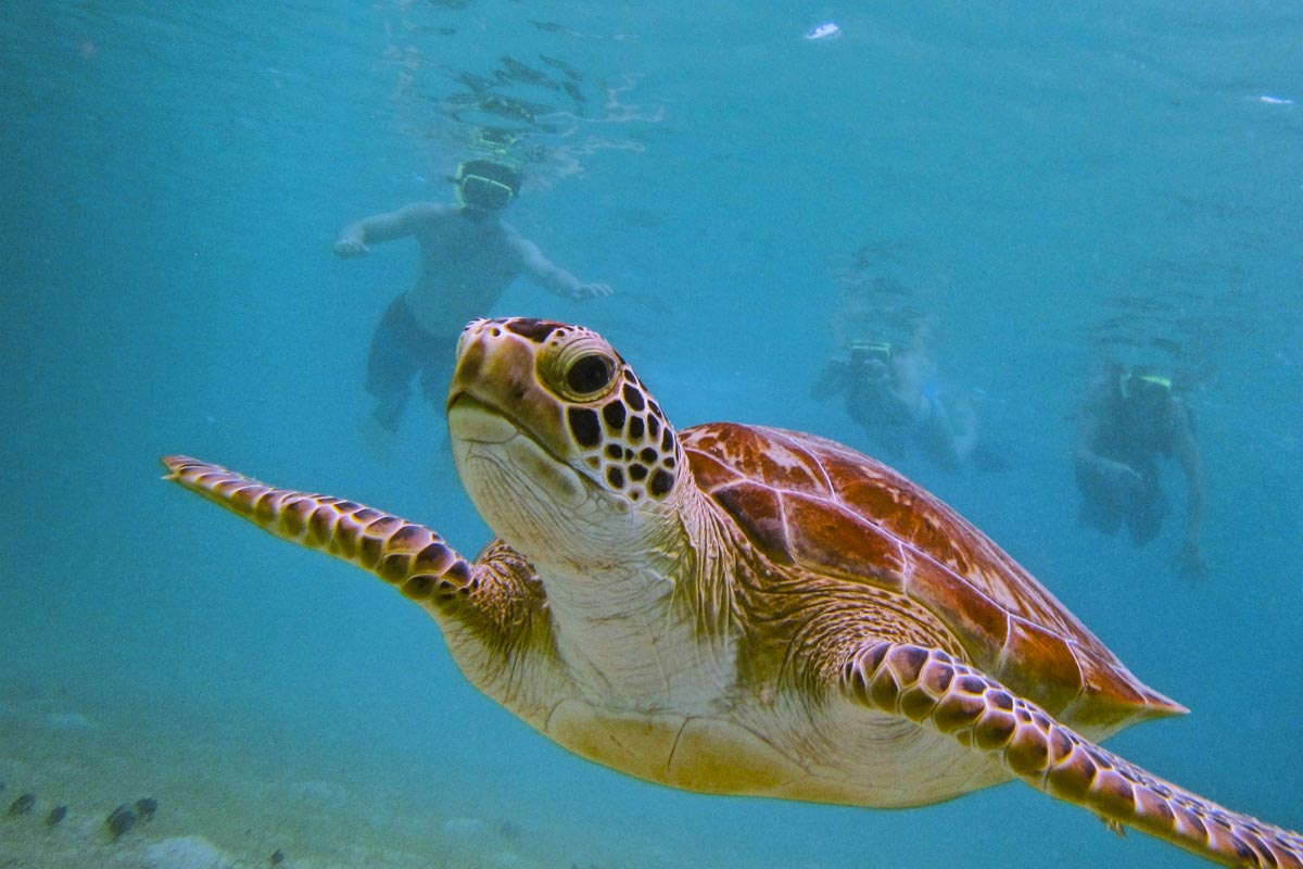 Three persons swim with turtle wile snorkeling in culebra
