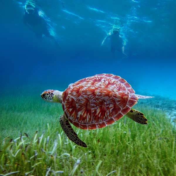 Two persons swim with turtle wile snorkeling in culebra